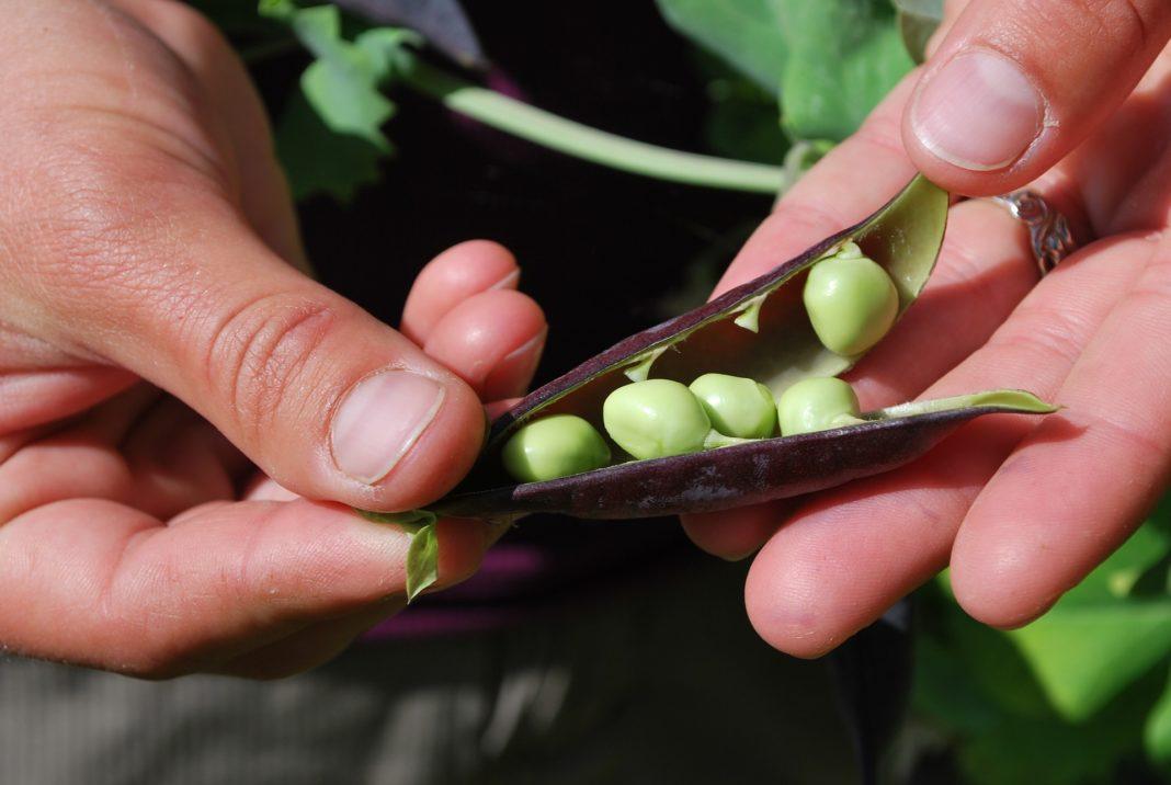 Erbsenschote mit Samen