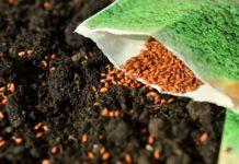 Aussaat von Kressesamen in Gartenerde