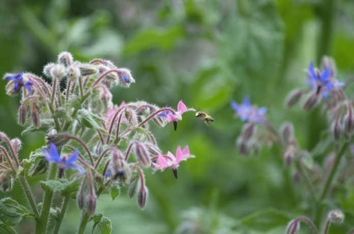 Borretsch blühend mit Biene