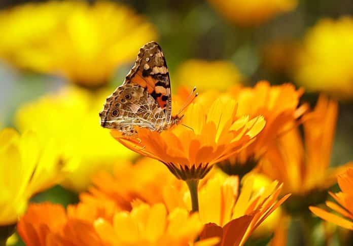 Ringelblumen mit Schmetterling