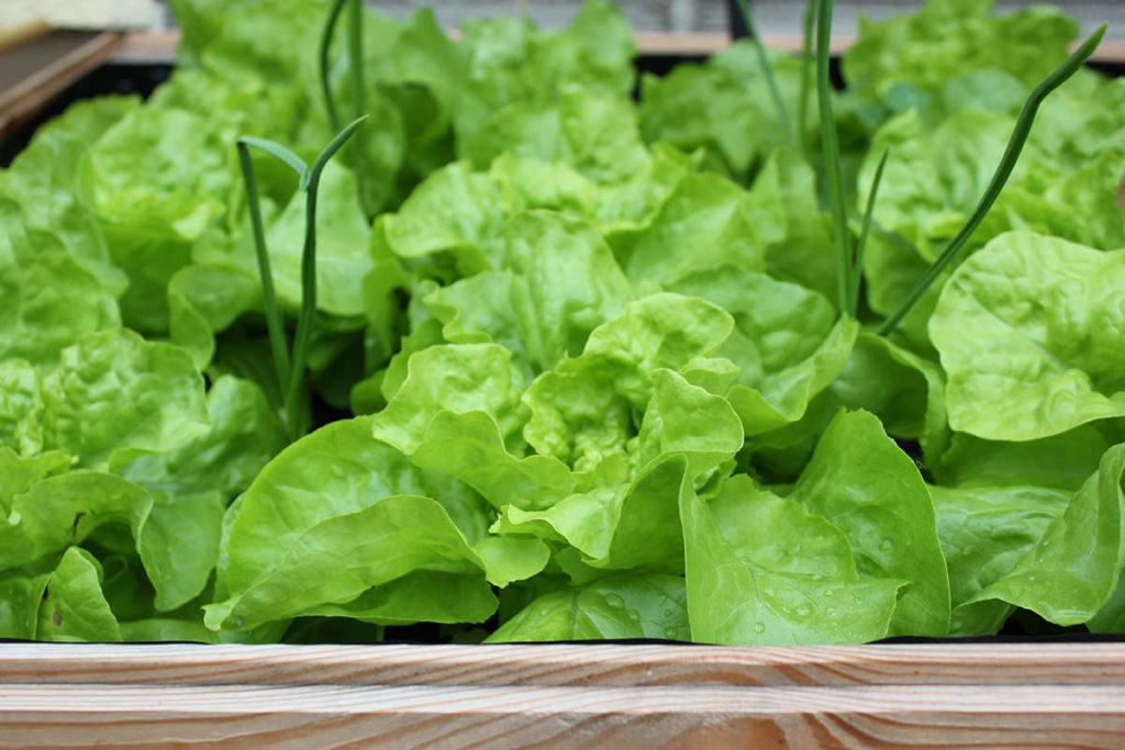 Salat mit Knoblauch gepflanzt