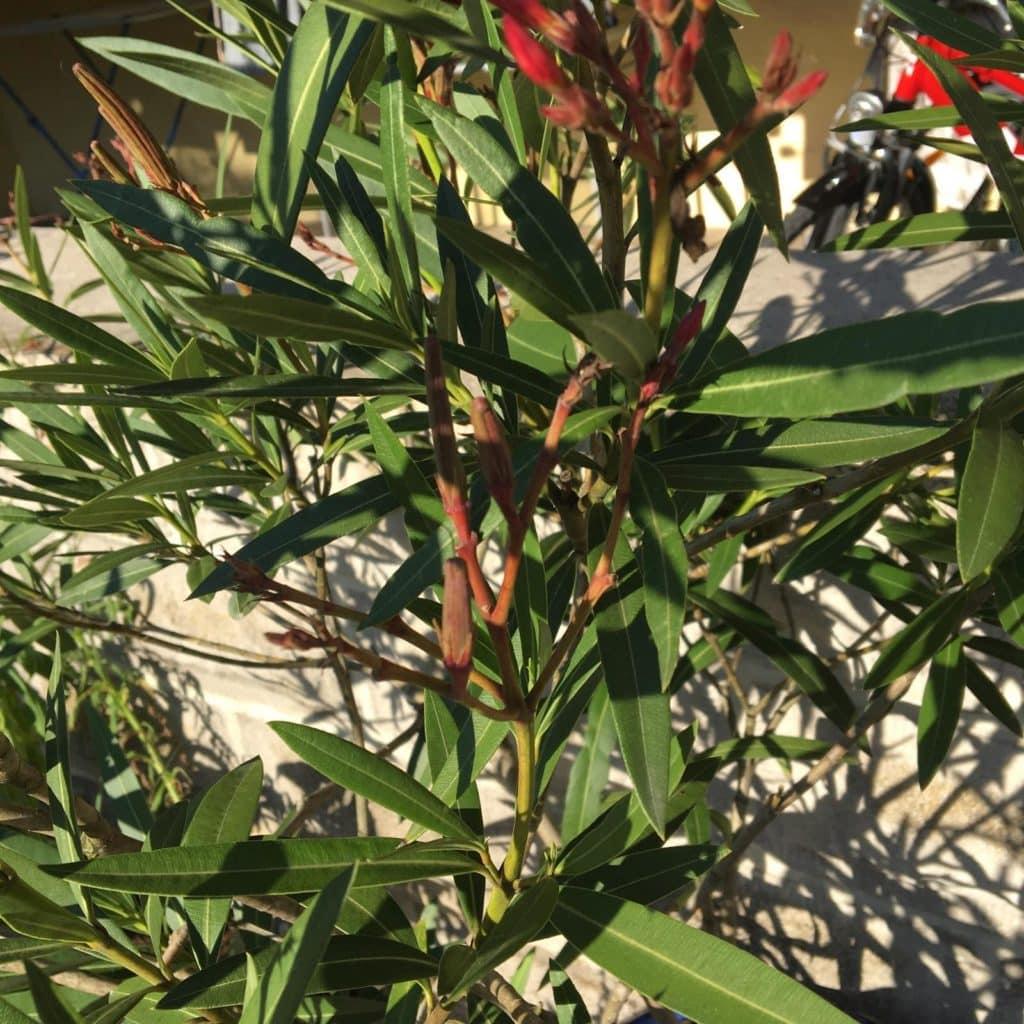 Oleander Standort Garten: Oleander Vermehren Schneiden