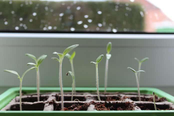 Junge Tomatenpflanzen auf der Fensterbank