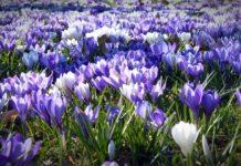 Blühendes Krokus-Feld