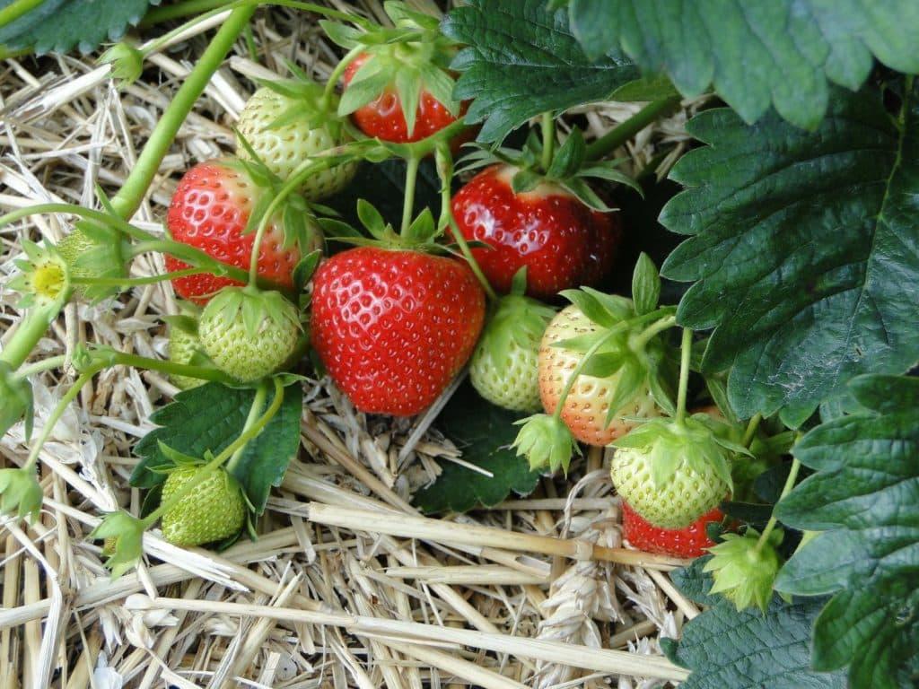 Erdbeeren mit Stroh