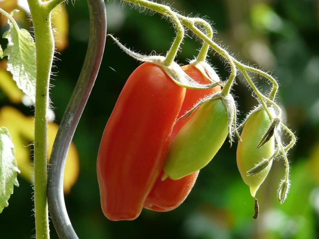 Tomaten-lang