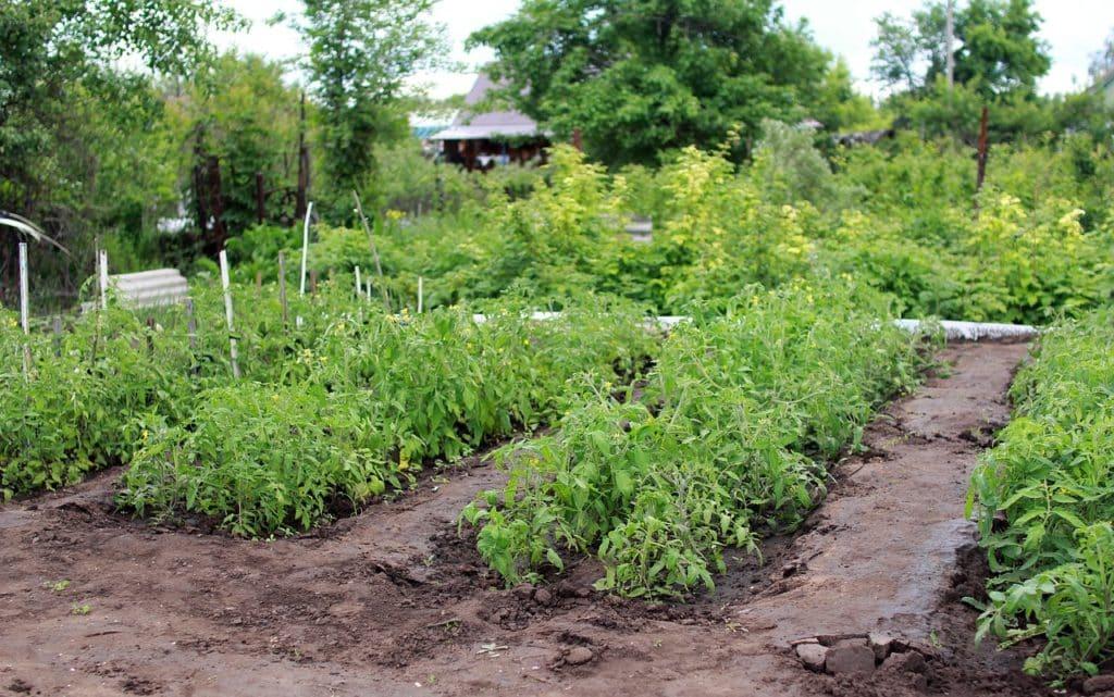 Kartoffeln-Garten
