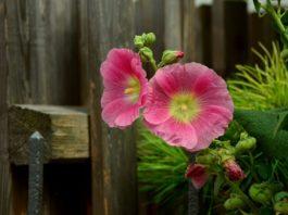 stockrose