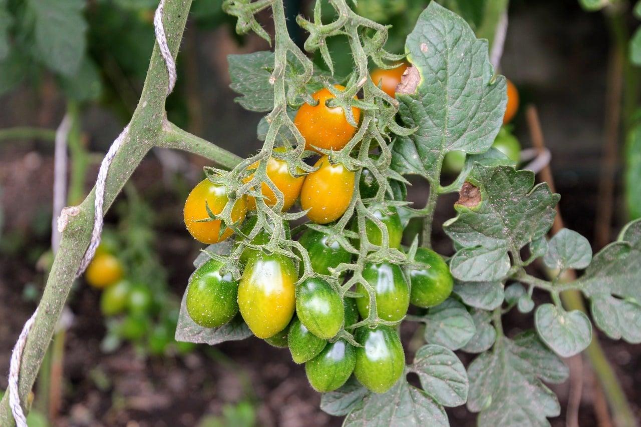 Braunfäule Tomaten