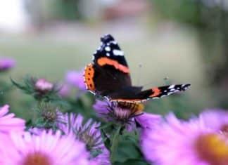 Schmetterlingswiese anlegen