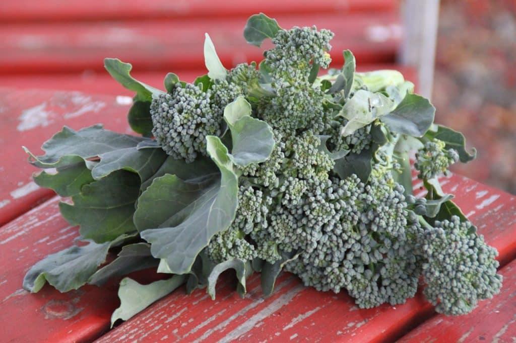 brokkoli-ernte
