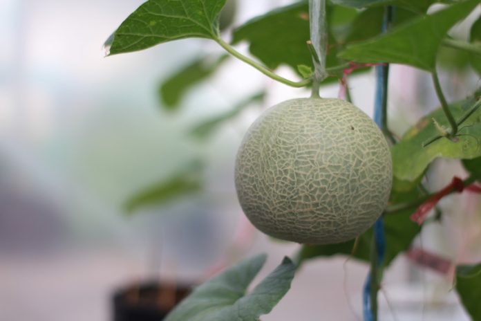 melone-im-garten