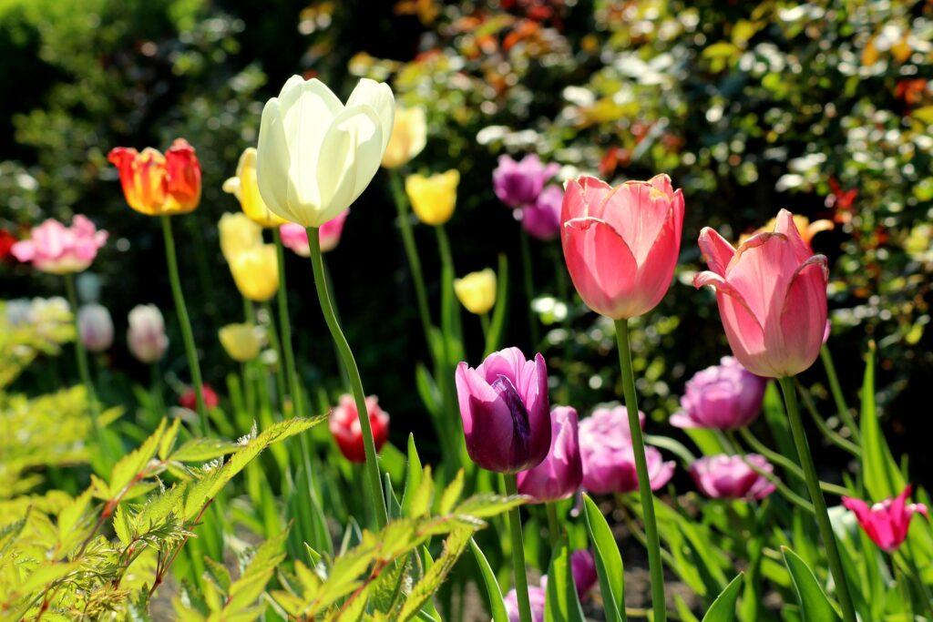 Tulpenzwiebeln pflanzen