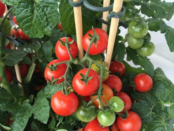 tomaten im topf anbauen